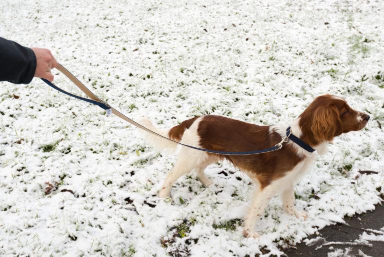 Welsh Springer Spaniel steht im Schnee. Er hat eine dunkelblaue Leine und Halsband.