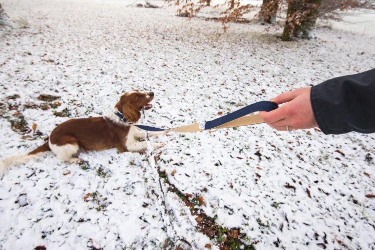 Welsh Springer Spaniel liegt im Schnee. Er hat eine dunkelblaue Leine und Halsband.