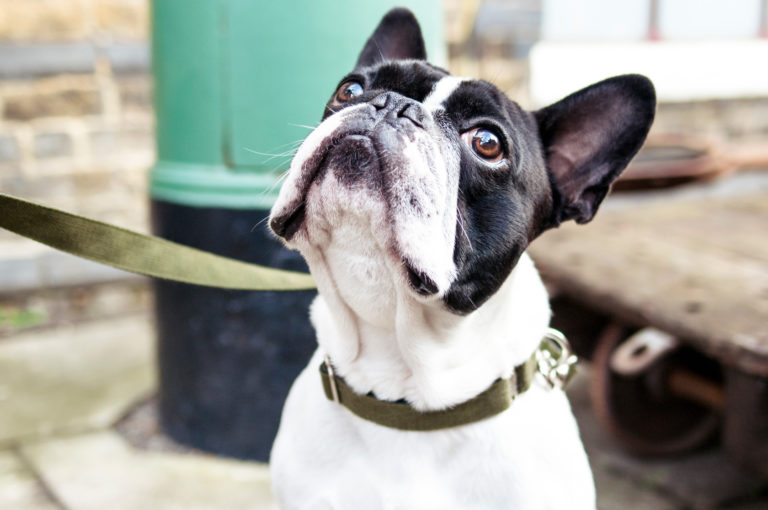 Bulldogge mit Halsband und Leine in Oliv von Vackertass