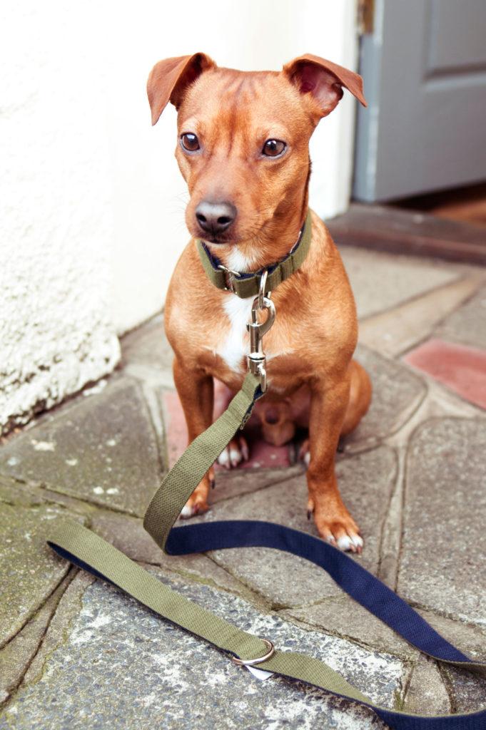 sitzender Terrier-Mix mit Halsband und Leine in Oliv von Vackertass