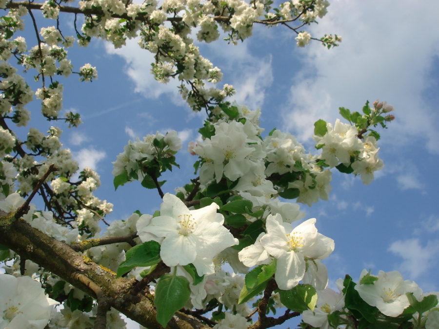 weiße Apfelblüten unter blauen Himmel