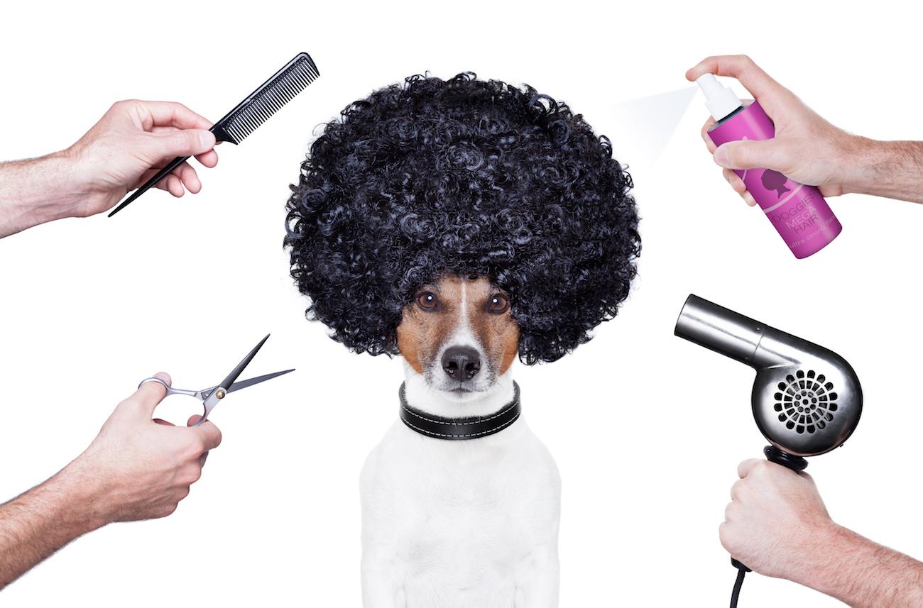 Terrier mit Afro-Perücke. Vier Hände mit Friseur-Accessoires sind um ihn herum.