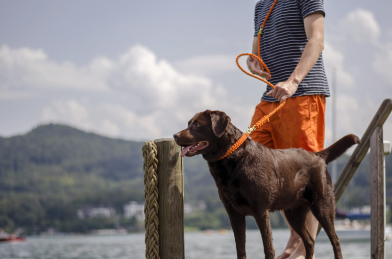 Brauner Labrador steht am See. Ein Mann hat ihn an einer orangen Leine.
