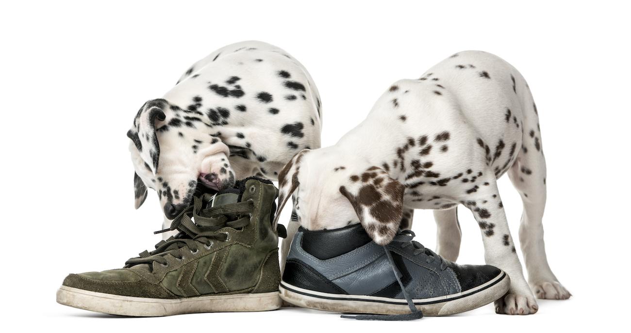 Zwei Dalmatinerwelpen stecken mit ihrem Kopf in Sneakers.