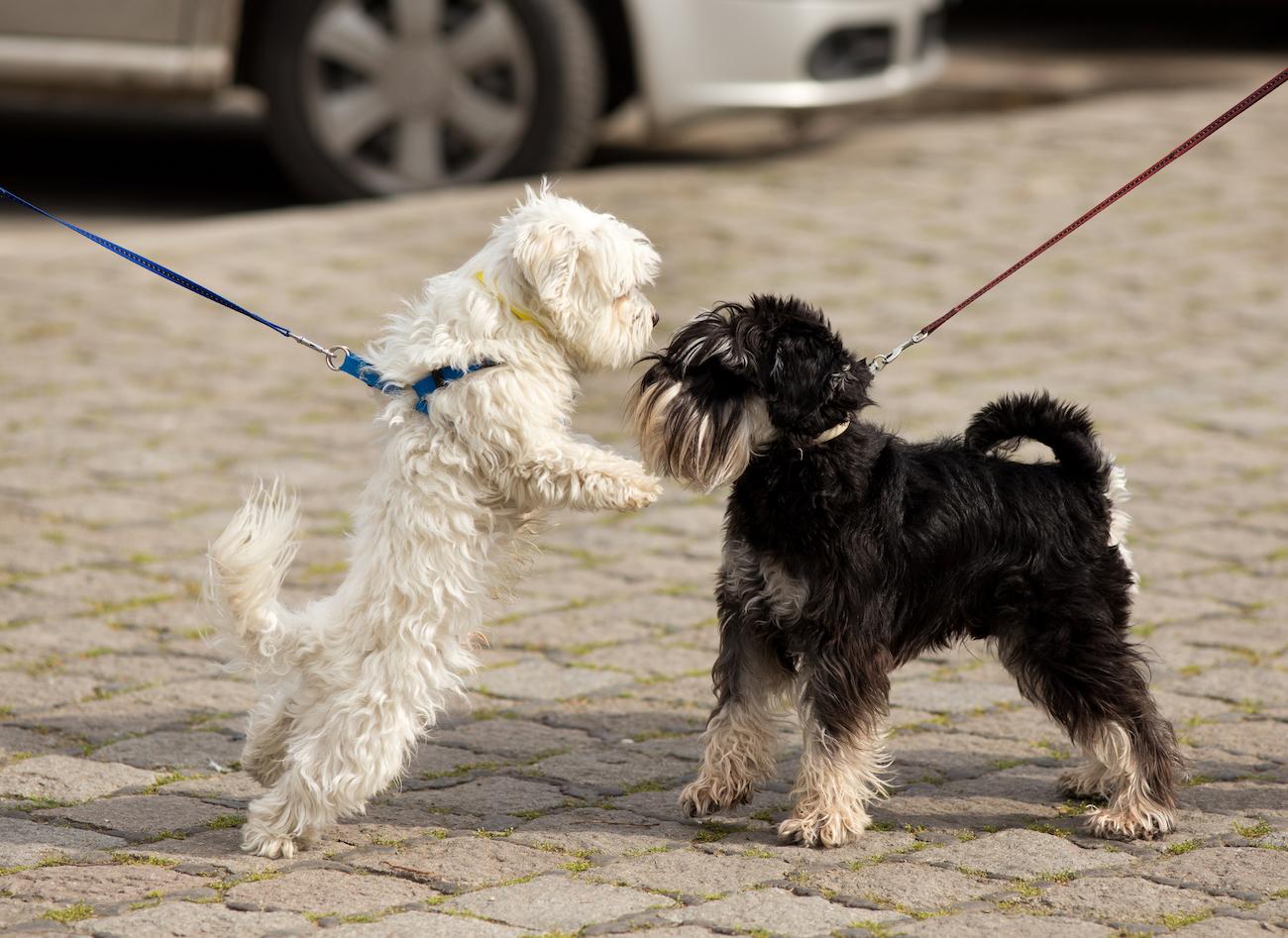 Zwei kleine Hunde treffen sich auf der Strasse. Sie sind angeleint.