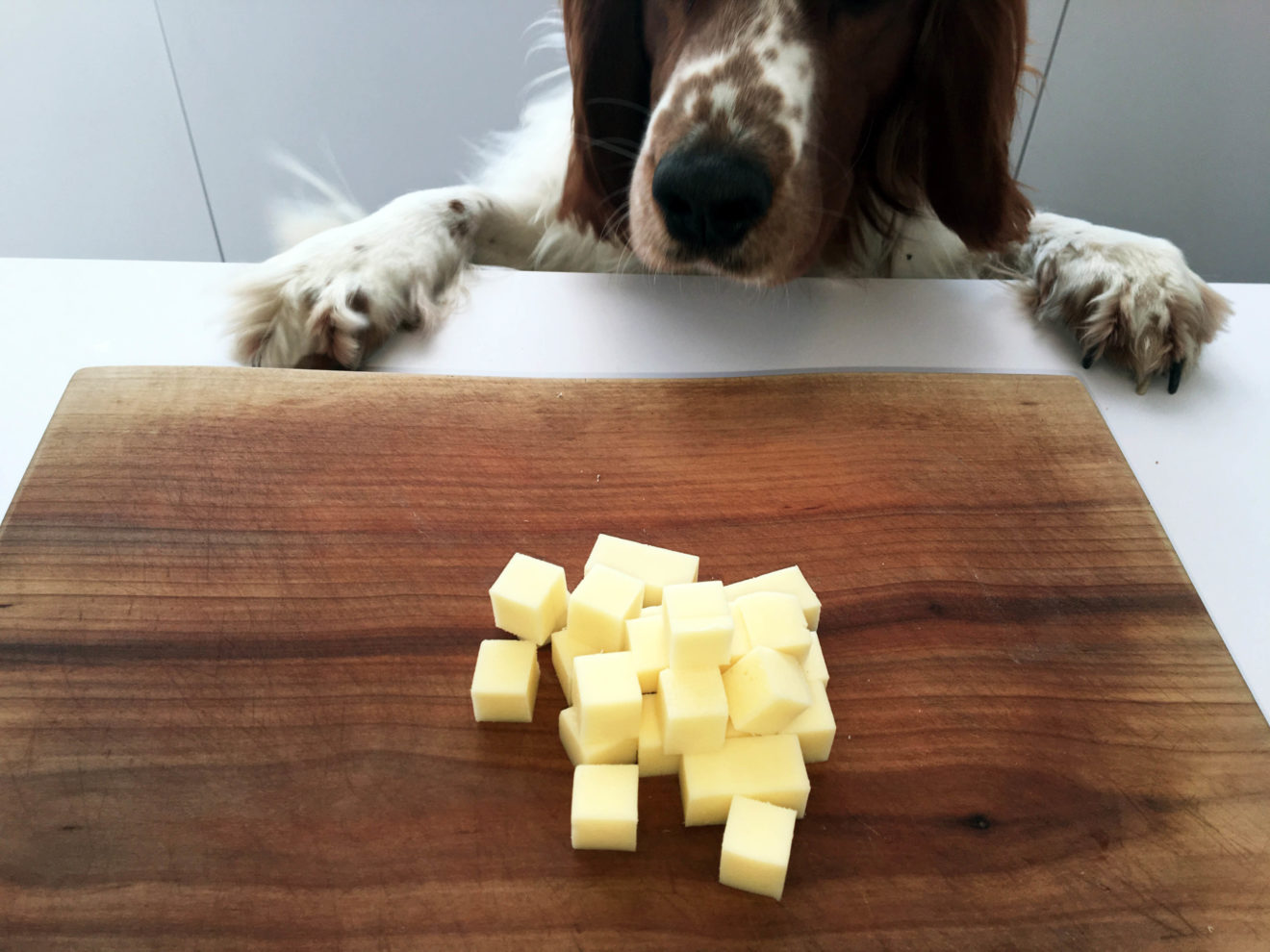 Hund steht vor Schneidebrett mit Käsewürfeln