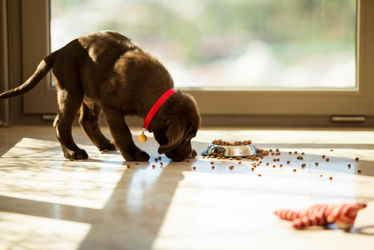 Brauner Labradorwelpe frisst Trockenfutter vom Boden.