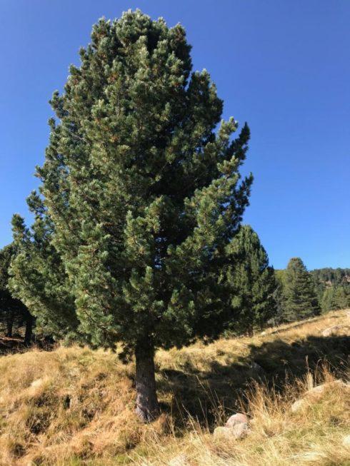 ein großer Zirbenbaum in Südtirol