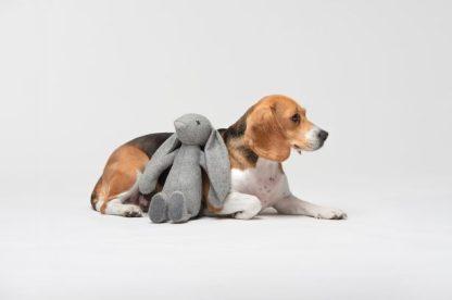 liegender Beagle mit Hundespielzeug Hase