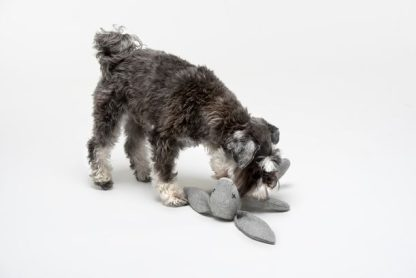 Schnauzer spielt mit einem grauen Hasen