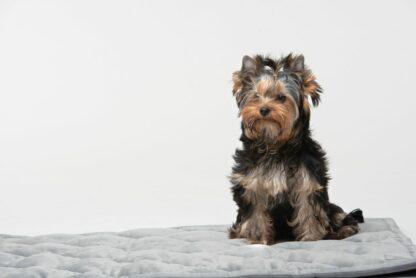 Yorkshire Terrier sitzt auf grauer Hundedecke